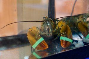 Pregnant lobster