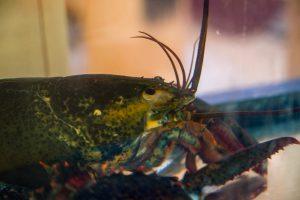 10 lb lobster